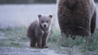 Animation: Young-bear-standing-up-in-Bear-family---animation