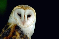 Bird: Barn-Owl