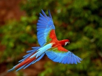 Bird: Blue-red-Amazon-Parrot-(Macaw,-Psittacidae)
