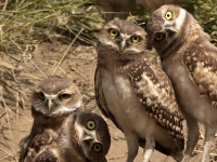 Bird: Four-young-Owls