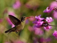Bird: Green-Hummingbird-hovering-before-pink-flowers