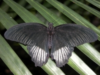 Butterfly: Black-butterfly-backside-(Limenitis)