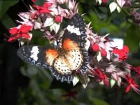 Butterfly: Butterfly-among-red-flowers