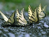 Butterfly: Four-yellow-butterflies-on-ground-sideview