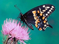 Butterfly: Monarch-butterfly-on-pink-thistle-flower