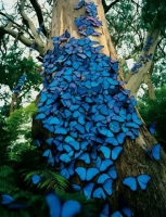 Butterfly: Tree-trunk-full-with-blue-butterflies