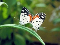 Butterfly: Two-butterflies-mating-on-green-pedicel