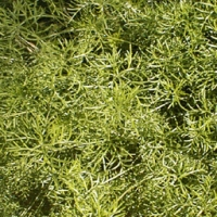 Collection\Adbe: Asparagus-fern