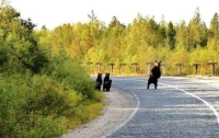 Collection\Animal Families: Bear-with-3-youngsters-on-the-road