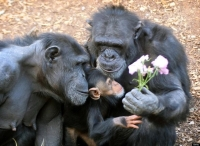 Collection\Animal Families: Chimpanzee-family