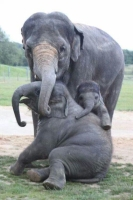 Collection\Animal Families: Elephant-with-2-young