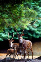 Collection\Animal Families: Fallow-deer-family