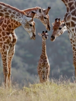 Collection\Animal Families: Giraffes-admiring-baby-giraffe