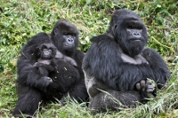 Collection\Animal Families: Gorilla-family