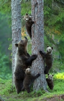 Collection\Animal Families: Mother-Bear-with-4-youngsters-in-tree