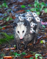 Collection\Animal Families: Opossum-with-many-kids-on-back