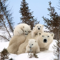 Collection\Animal Families: Polar-bear-with-three-youngsters