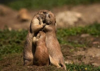 Collection\Animal Families: Prairie-Dog-family