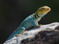 Collection\Beautiful Nature: Agama-Lizard
