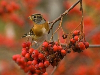 Collection\Beautiful Nature: Brambling-Bird-(Fringilla-montifringilla-on-red-berries-60