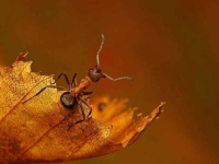 Collection\Beautiful Nature: Carpenter-Ant-on-leaf-69