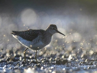 Collection\Beautiful Nature: Common-Greenshank-(Snip,--Tringa-nebularia)
