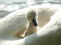Collection\Beautiful Nature: Cygnet-79