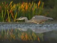 Collection\Beautiful Nature: Egret-Heron-fishing-(Ardeidae)