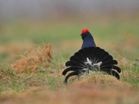Collection\Beautiful Nature: European-Black-Grouse-(Lyrurus-tetrix)