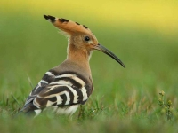 Collection\Beautiful Nature: European-Common-Hoopoe-(-Upupa-epops)