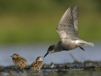 Collection\Beautiful Nature: Gull-feeding-chicks-59