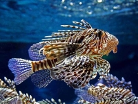 Collection\Beautiful Nature: Lionfish-(Dendrochirus-barberi)