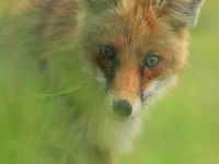 Collection\Beautiful Nature: Red-Fox-48