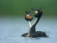 Collection\Beautiful Nature: Two-Grebes-62