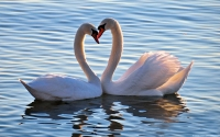 Collection\Msft\Birds: Mute-Swan-Heart