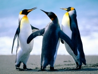 Collection\Msft\Birds: Penguins
