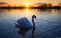 Collection\Msft\Birds: Swan-on-lake-at-sunset