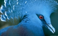 Collection\Msft\Birds: Victoria-Crowned-Pigeon