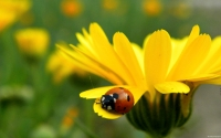 Collection\Msft\Insects: Ladybug-on-Flower-Petal