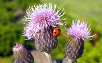 Collection\Msft\Insects: Ladybug-on-Thistle