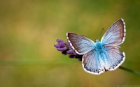 Collection\Msft\Insects: Provence-Chalk-hill-Blue-Butterfly