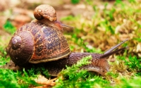 Collection\Msft\Invertibrae: Ride-of-small-snail-on-large-Brown-Snail