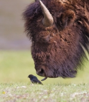 Collection\Msft\Mammals: American-Buffalo-(Bison-bison)-licks-bird