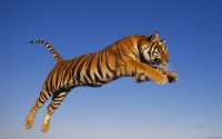Collection\Msft\Mammals: Bengal-Tiger-jumping-(Panthera-tigris)