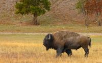 Collection\Msft\Mammals: Buffalo-(Bison-bison)