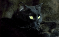 Collection\Msft\Mammals: Domestic-black-Cat-(Felis-catus)