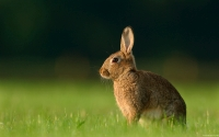 Collection\Msft\Mammals: European-Brown-Bunny-(Oryctolagus-cuniculus)