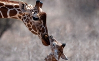 Collection\Msft\Mammals: Giraffe-with-its-Calf-(Giraffa-camelopardalis)