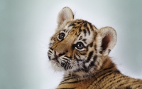 Collection\Msft\Mammals: Tiger-cub-(Panthera-tigris)