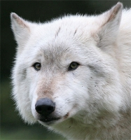 Collection\Msft\Mammals\Wolf: Face-of-Artic-Wolf